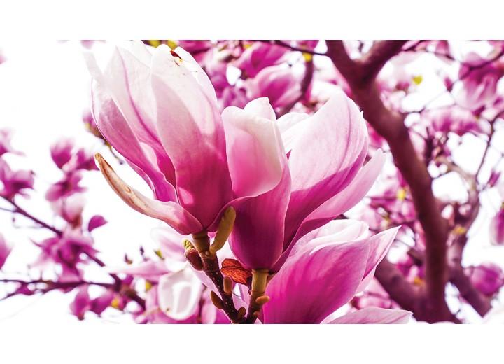 Fotobehang Vlies | Bloemen, Magnolia | Roze | 254x184cm