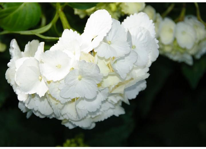 Fotobehang Vlies | Bloemen | Zwart, Wit | 254x184cm