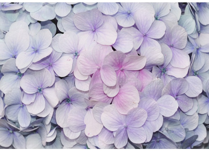 Fotobehang Vlies | Bloemen | Paars, Roze | 254x184cm
