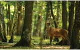 Fotobehang Vlies | Bos, Hert | Groen | 254x184cm