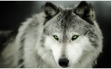 Fotobehang Vlies | Wolf | Grijs | 254x184cm