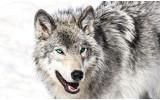Fotobehang Vlies | Wolf | Grijs, Wit | 254x184cm